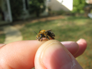 Bee on Finger