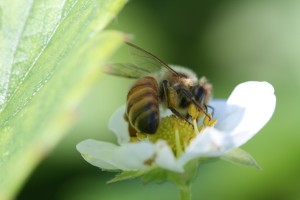 Honey bee. Photo: Jeremy Slone