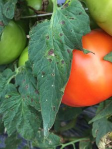 Cover photo for Vegetable Production Update- July 6th, 2018