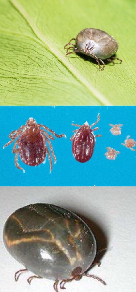 several life stages and views of longhorned tick