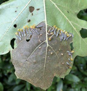 Image of sawfly larvae