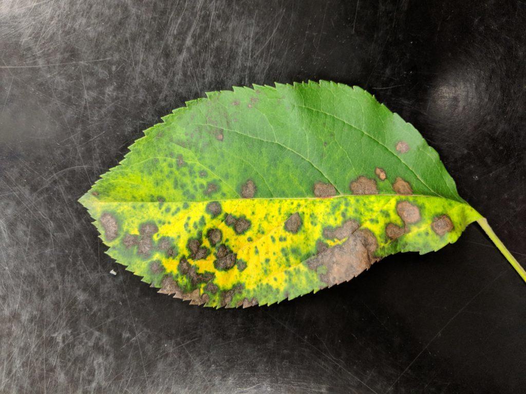 Image of Marssonina leaf blotch