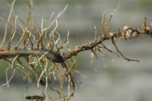 soybean cyst nematode damage
