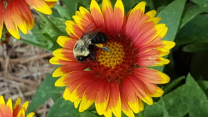 Cover photo for Bee Dispersal Ability May Influence Conservation Measures