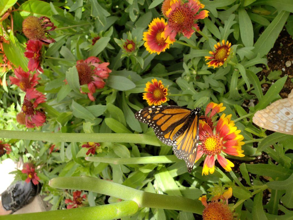 Monarch butterfly on gallardia