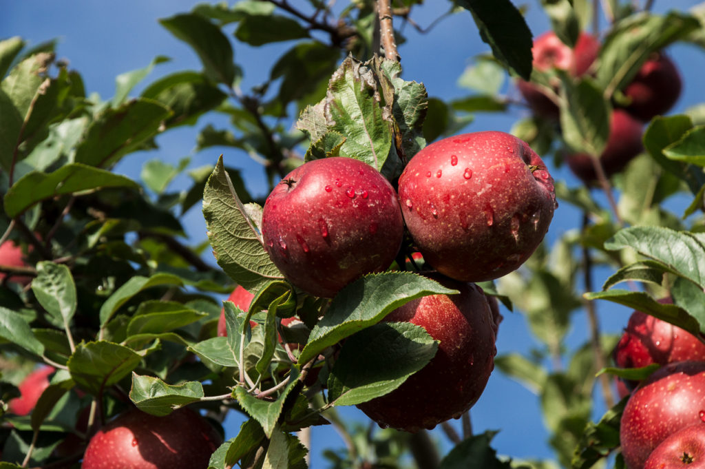 Apple Trees Are Mysteriously Dying All Across America | NC State
