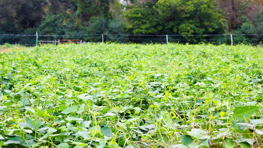 Cowpea is a summer cover crop used to help maintain and improve the soil for future growing seasons.