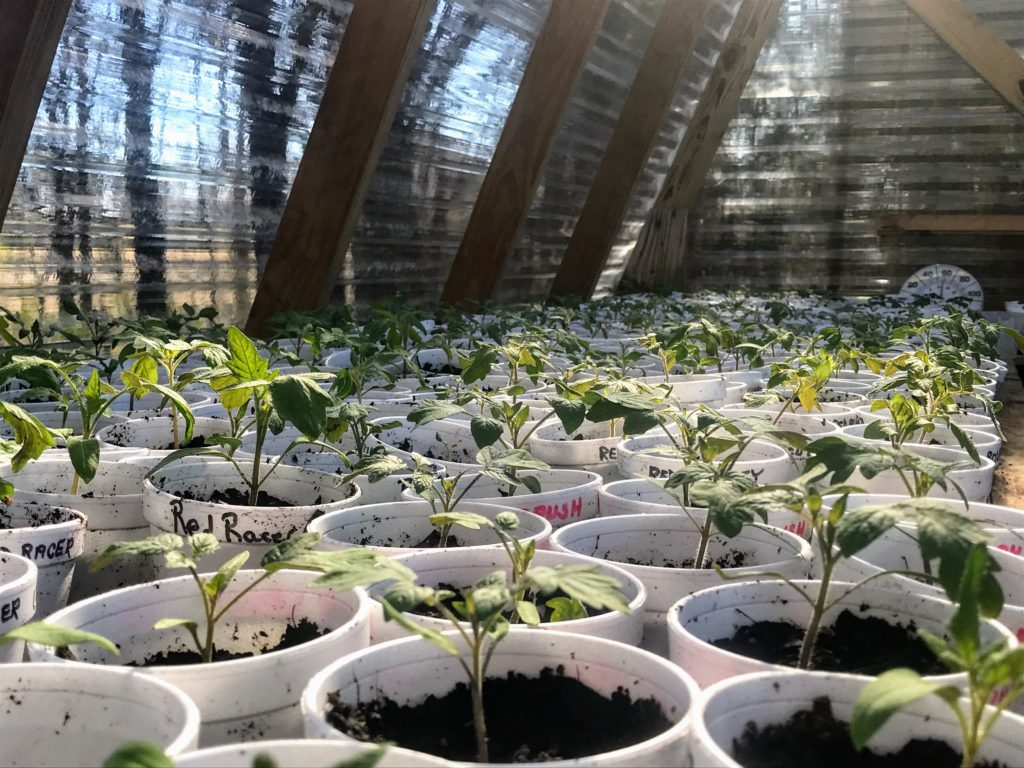 Tomato Seedlings being acclimated to new environment