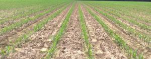 NCSU Corn Variety Trial