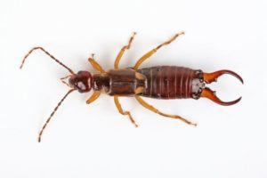 Earwig sample