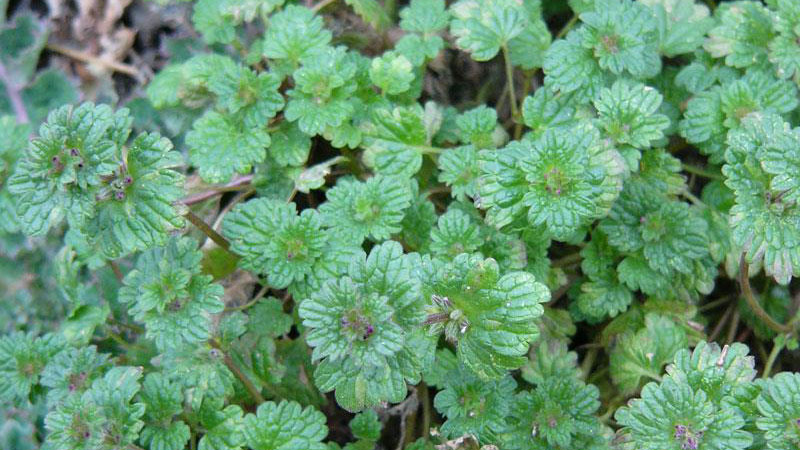 Winter Annual Henbit