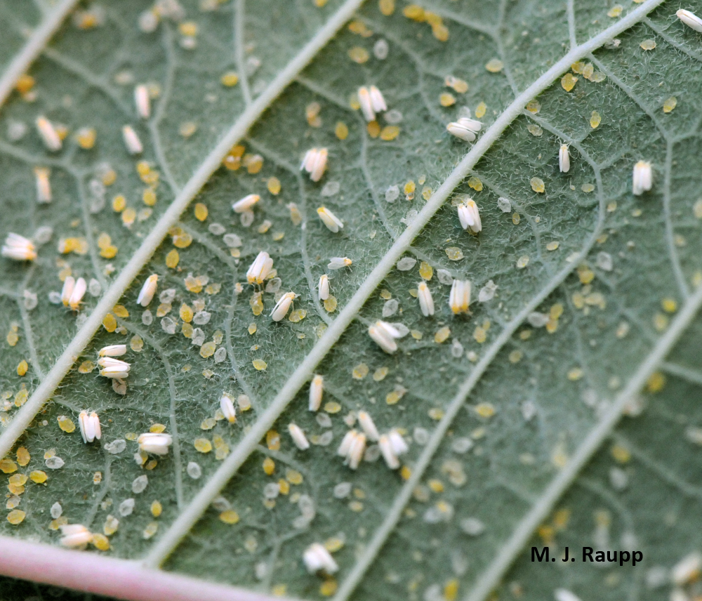 Whitefly nymphs on leaf
