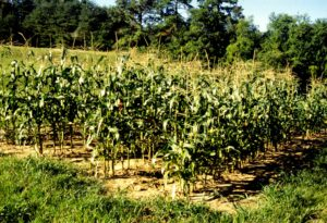 small plot of organic sweet corn