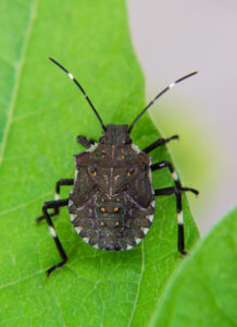 Cover photo for WNC Orchard Insect Pest Populations - July 13, 2021